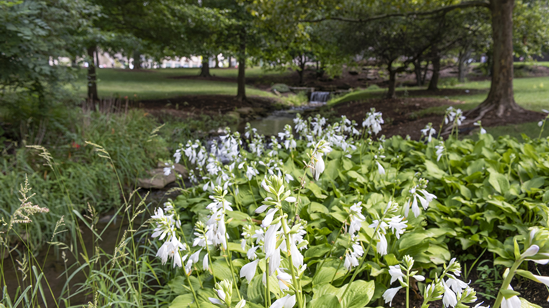 Hostas and trees alongside Indiana University campus' outdoor walkways.